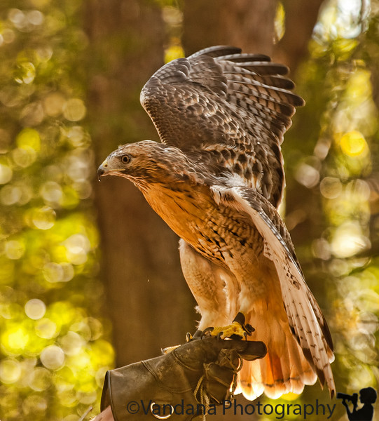 October 7, 2011 - Red tail hawk at Carolina Raptor Center. one of his wings was injured in a MVA and he cannot fly..