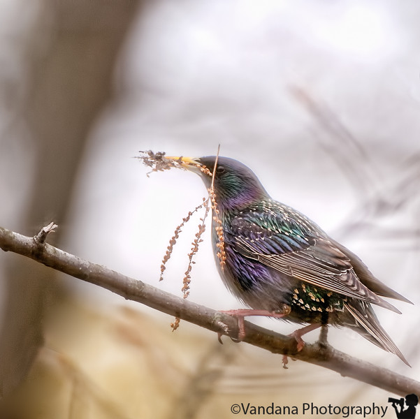 May 3, 2011 - a Starling makes its nest