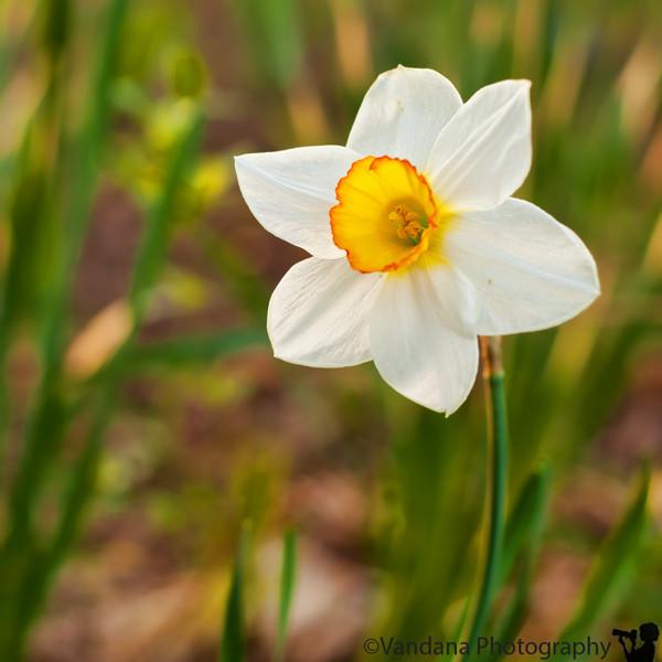May 2, 2011 - Daffodil times