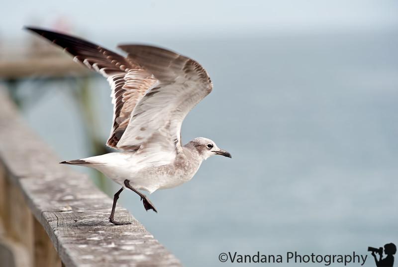 November 14, 2011 - Seagull take-off