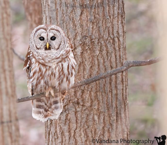 March 31, 2011 - A barred owl in th backyard !!
