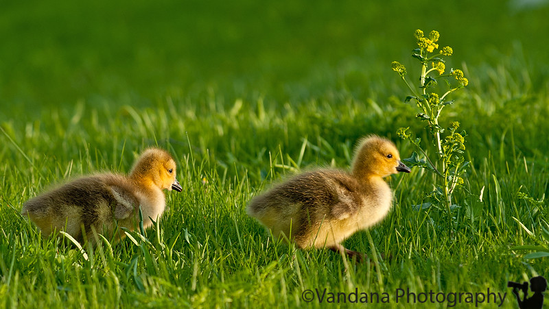 May 29, 2011 - little geese take a walk