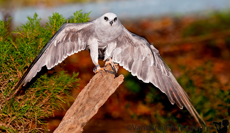 October 15, 2011 - Mississipi Kite shows off its wings - taken at photowalk at Carolina Raptor Center