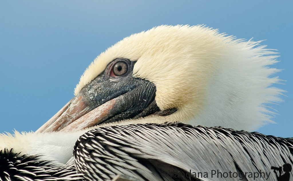 November 13, 2011. Pelican on the boardwalk @ Kure Beach.<br /> Spent the weekend exploring Wrightsville beach, Kure beach and Fort Fisher, the seaside communities of Wilmington,NC. Miles and miles of beach, 70 degree weather in November, lots of second homes on sale, only 3 hours from Charlotte, makes for an ideal weekend getaway. Perhaps we have a beach shack to look forward to, in the future...