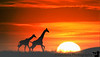 December 11, 2011 - a weekend trip to Africa ( you wish !!)