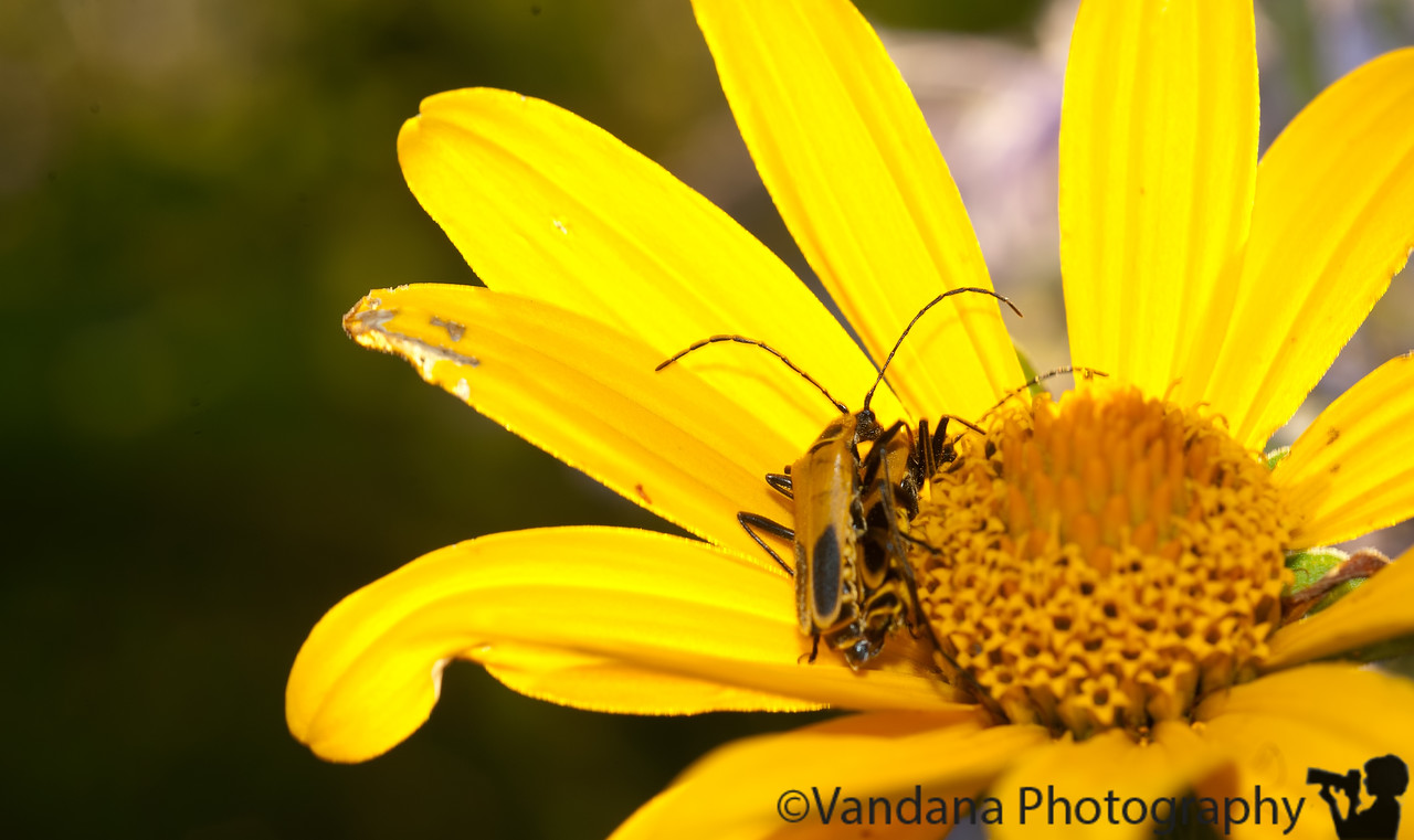 August 18, 2011 - Mating in the flower