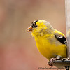 May 1, 2011 - The goldfinch