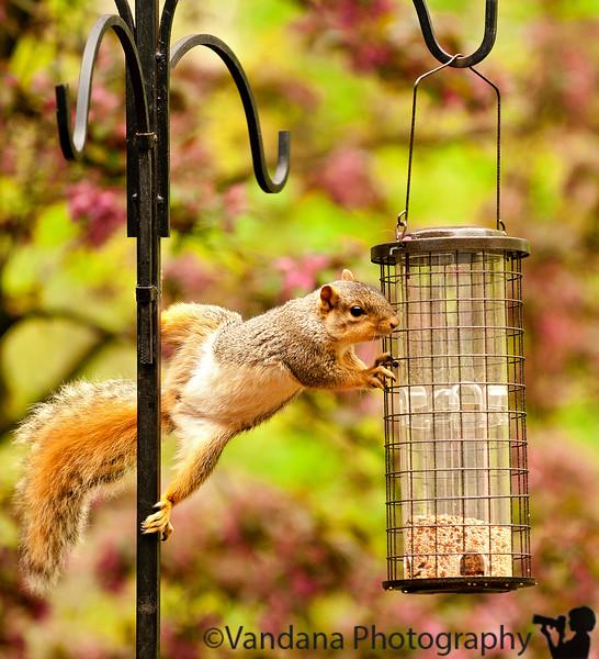 May 15, 2011 - Squirrel acrobatics