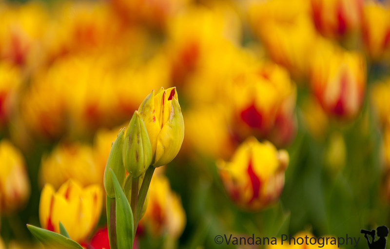 May 9, 2011 - Tulip bud<br /> <br /> thank you all for the wonderful comments on my tulip shot from yesterday ! I have many pictures to upload from the Holland trip, so dailies will be flowery for some days to come !