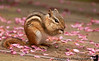 May 27, 2011 - little squirrel among the blossoms