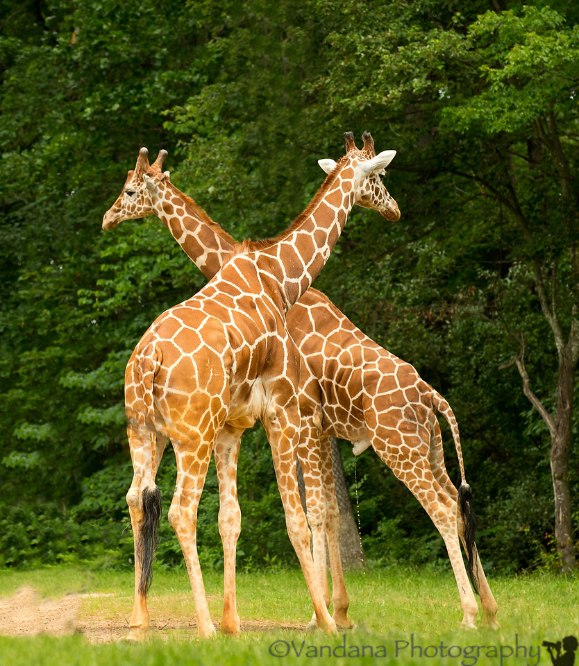 May 31, 2012 - Standing tall<br /> <br /> incidentally, I seem to have caught one of the giraffes in the act ! unexpected details in the D4 !!