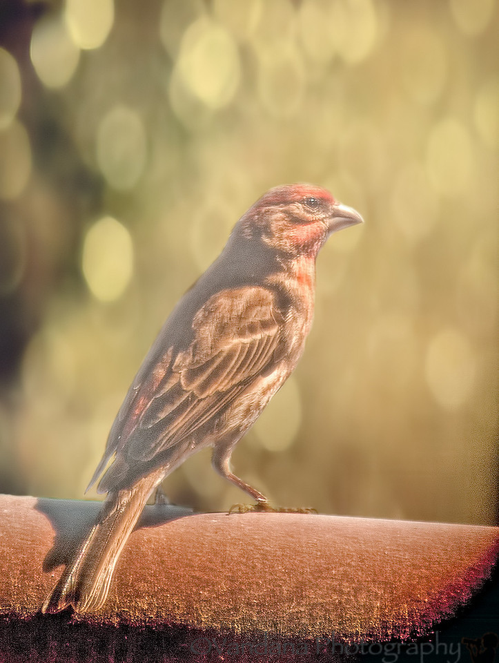 April 13, 2012 - Finch in the patio<br /> <br /> not the best shot, taken thru a glass door against the light , but well, I'm still shooting :) !