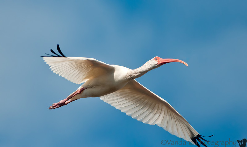 March 4, 2012 - Ibis in flight ( from Florida Dec 2011 archives)