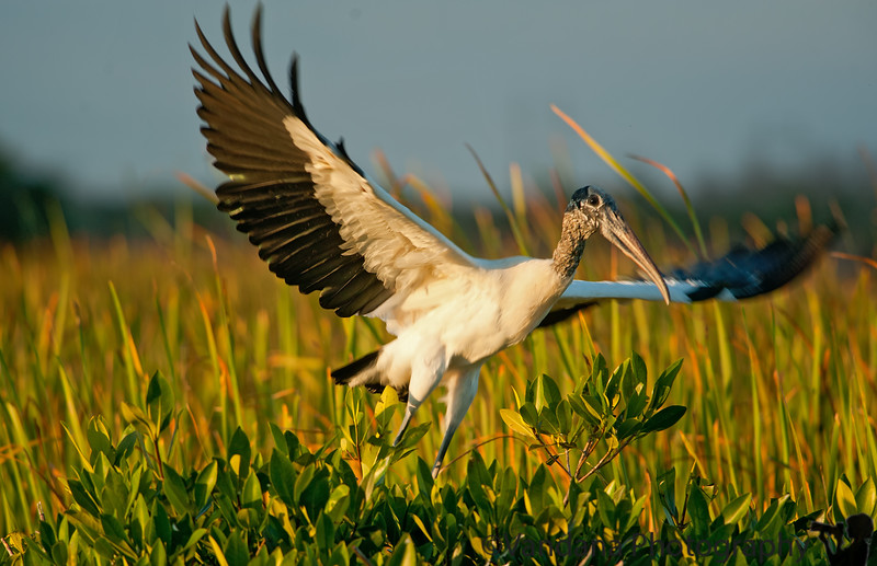 January 9, 2012 - A woodstork taking off, taken at Everglades National Park, FL.  the next sequence shots are here in upcoming Florida 2011 gallery where the woodstork showed off more of his iridescent green wings to me( and I cropped them off !), such a beautiful big bird !