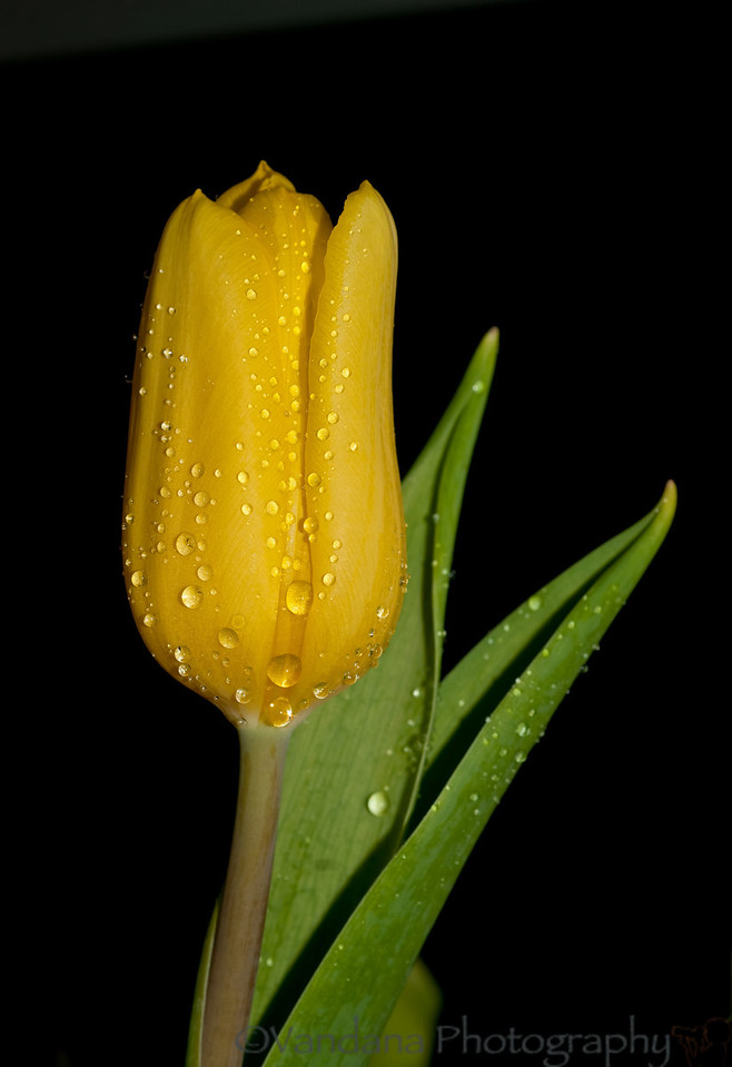 April 12, 2012 - tulip drops<br /> <br /> so much yellow in my dailies of late ! thanks for the comments and likes on my portrait yesterday. Just waiting for baby to arrive, 39 weeks pregnant, huge and tired now !