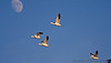 November 23, 2012 - Snow geese fly by the moon, taken at Gray Lodge Wildlife area, CA