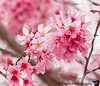 February 29, 2012 - Spring blossoms are here !