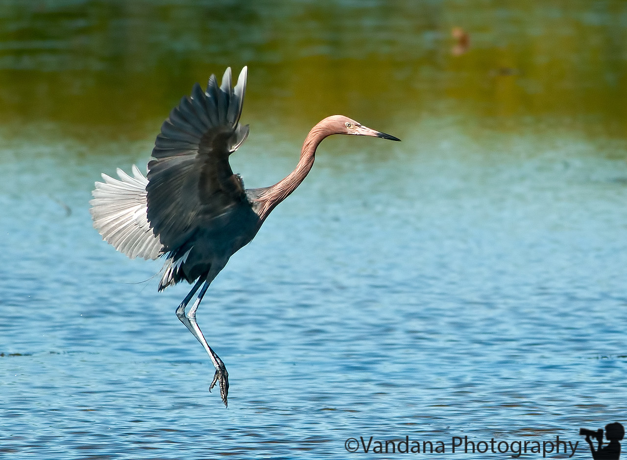 January 4, 2012 - A reddish egret in flight<br /> <br /> Lots of bird shots, being processed from Florida ! sorry, if it's getting boring :) ! thanks for the comments on my upside down composition yesterday !<br /> <br /> late edit : thanks Gail ! this is a reddish egret and not a tri-colored heron as I previously thought. the tri-colored heron according to the guru - google is white underneath the wings.