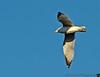 November 10, 2012 - Seagull in flight