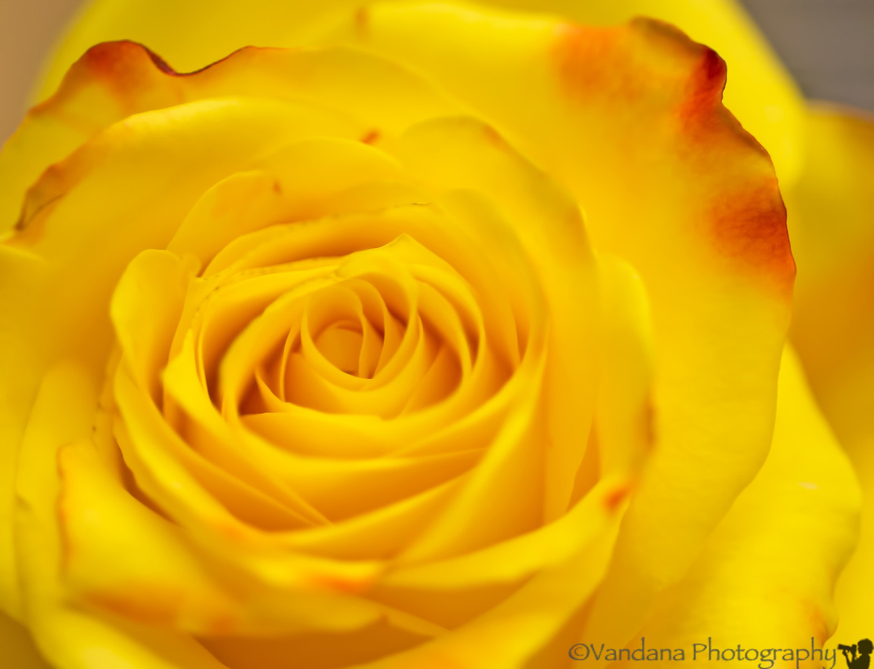 October 13, 2012 - the rose