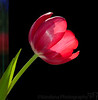 February 10, 2012 - Tulip mania<br /> <br /> thanks for the wonderful comments on my smoke kettle shot..I hope to do more smoke photography in the days to come !
