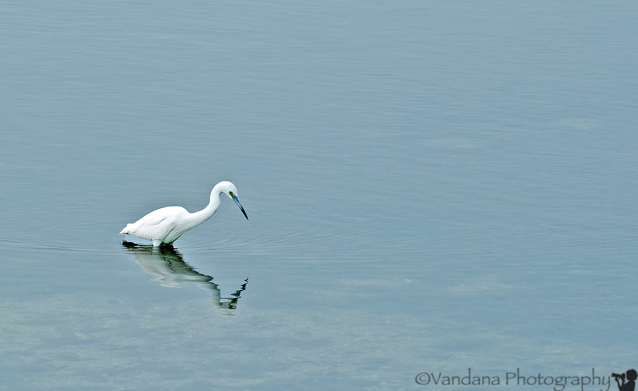 March 11, 2012 - an Egret reflects<br /> ( one from Florida Dec 2011 archives) - look in X3L sizes so as not to miss the little droplet escaping its beak !