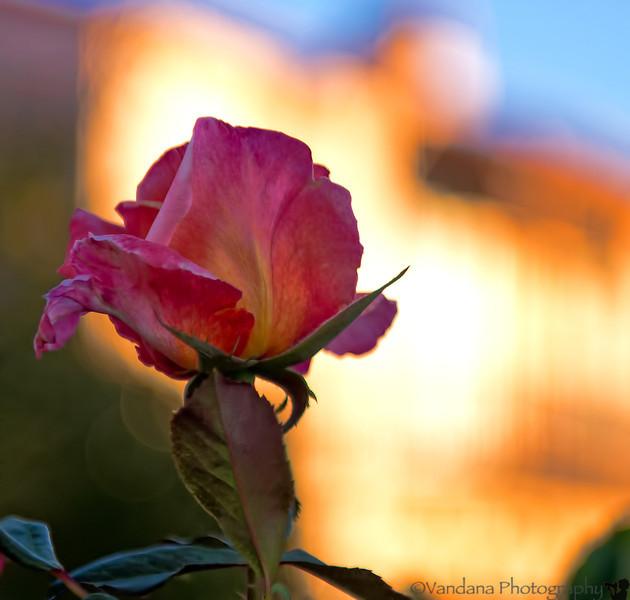 September 16, 2012 - an evening rose