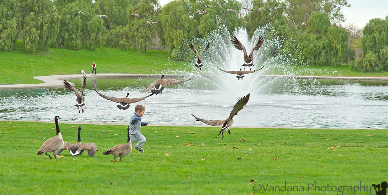 December 10, 2012 - Flight of the canada geese<br /> <br /> the little boy had great joy making the geese fly, such fun to watch and photograph ! taken at Heather Farm Park, Walnut Creek, CA