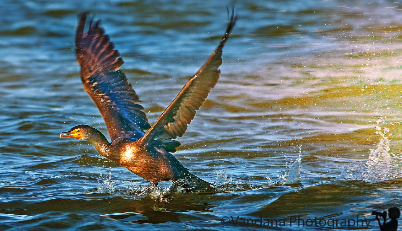 January 26, 2012 - Cormorant take-off - taken at Everglades National Park, FL