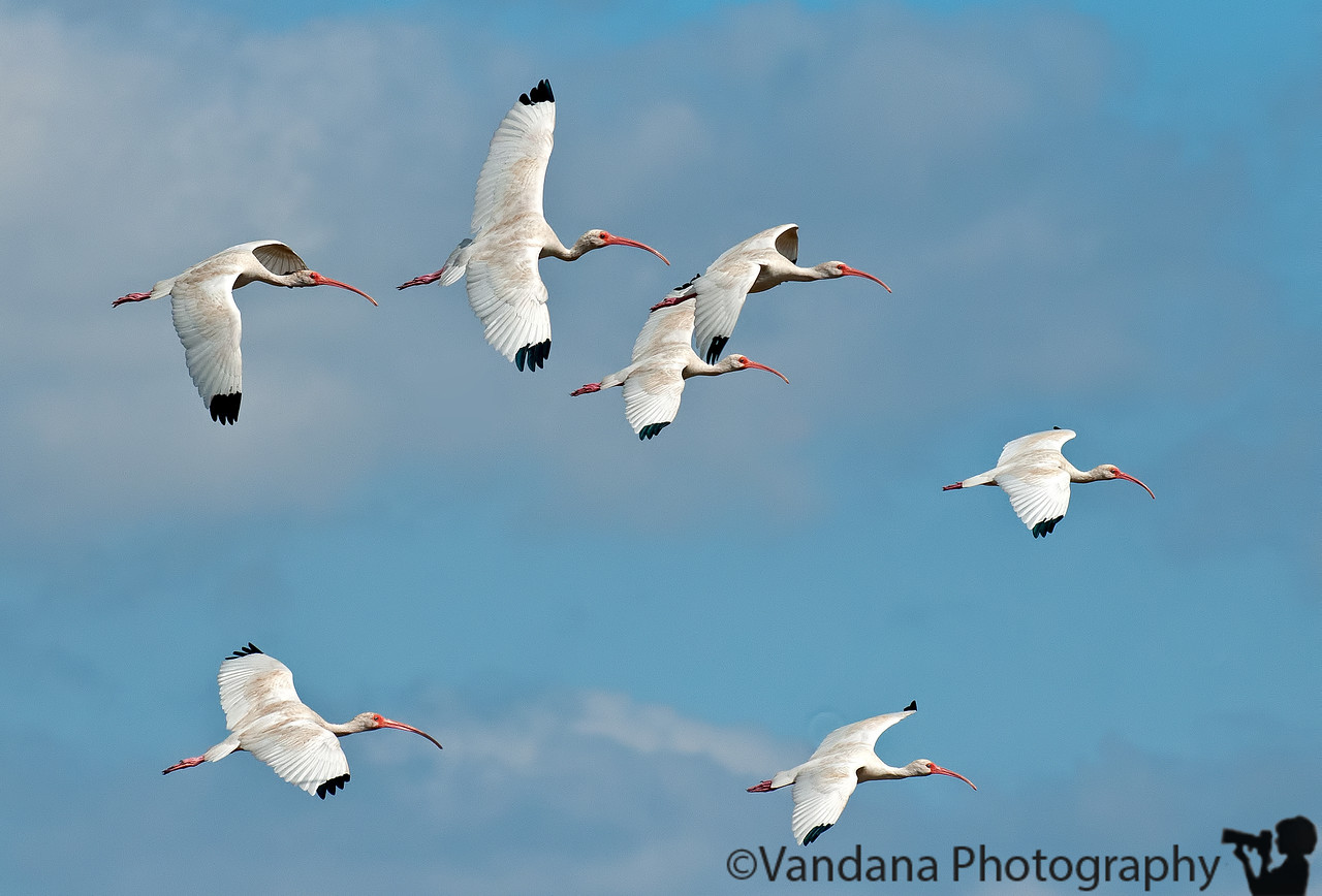 January 10, 2012 - Ibises in flight - see in XL sizes to appreciate the wing details ! <br /> <br /> thanks for the wonderful comments on my woodstork ! I find it ugly and yet attractive, and lately have been fascinated by it !