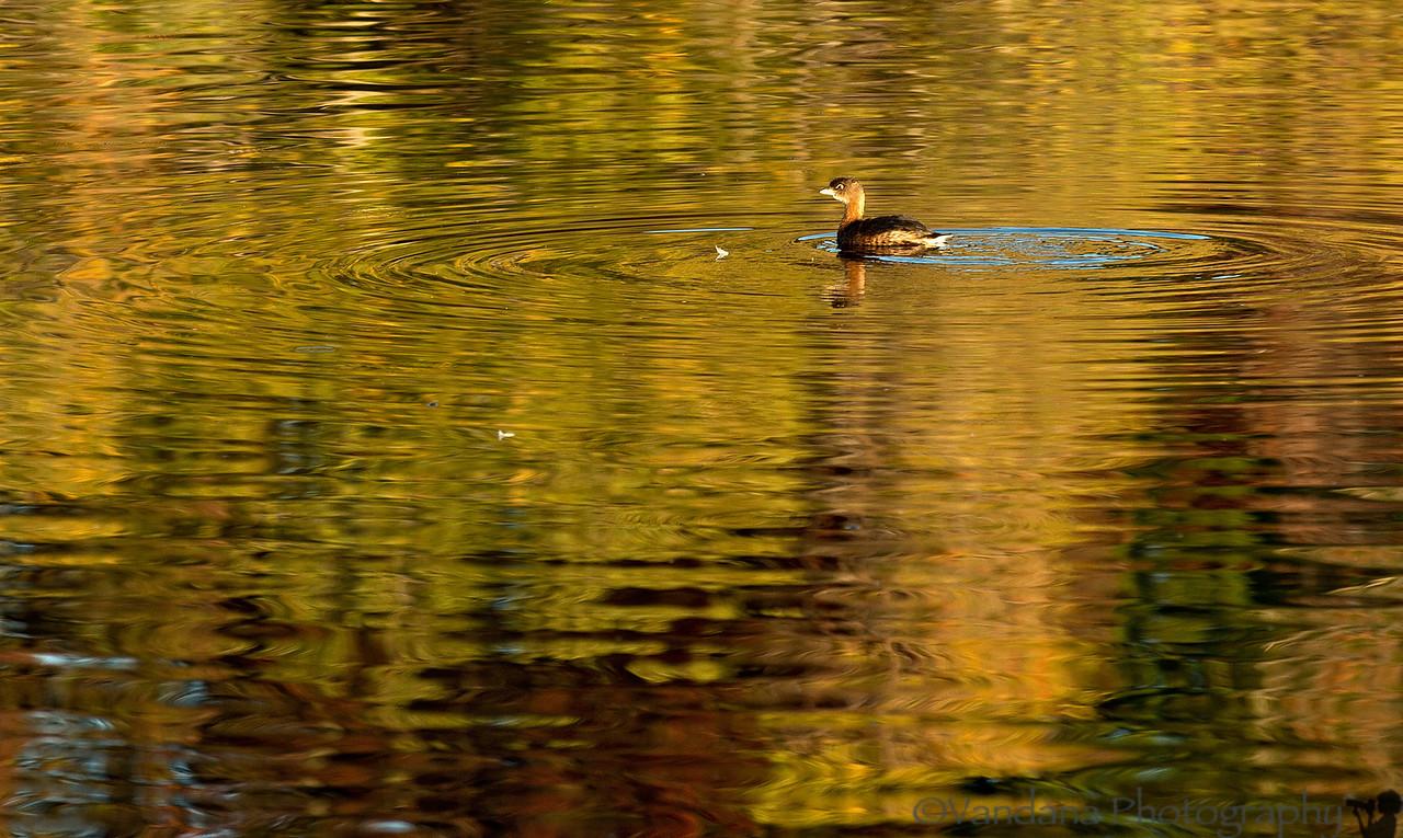 November 4, 2012 - Little bird on the lake