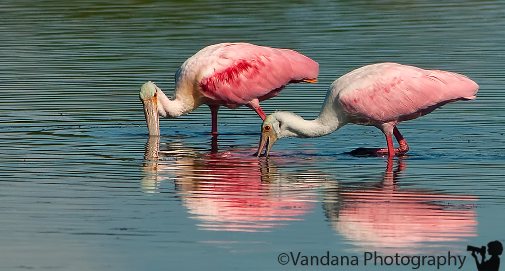 January 1, 2012 - Spoonbills at Ding Darling National Wildlife refuge, FL<br /> <br /> Back in Charlotte, NC, processing so many photos from cruise and Florida trip ! thanks for your wonderful comments on my shots in 2011. Looking forward to 2012 !