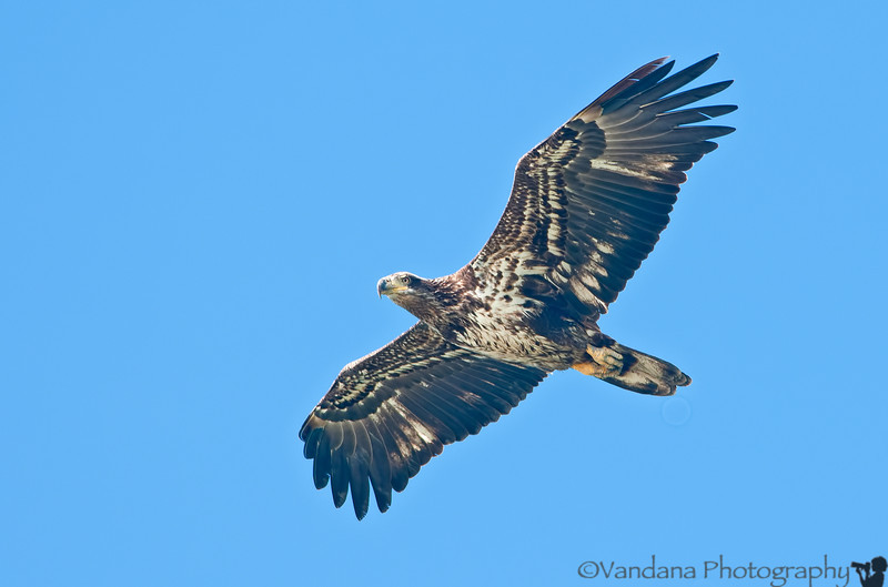 July 1, 2012 - a Juvenile bald eagle in flight   from Florida Dec 2011 trip archives. Too hot ( >100F ) to go out and take pictures !  thanks for the bird id !!
