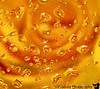 January 31, 2012 - Rose refractions<br /> <br /> waterdrops on glass table, yellow rose below, macro shot of refractions in the drops.<br /> <br /> late edit: One of my friends has written a poem inspired by this shot which I add here - <br /> <br /> 'REFRACTIONS OF LIFE' by Ajay Rawal<br /> <br /> Wayward bends of light<br /> Weave magic perfect<br /> Layered hues of gold <br /> Glistening drops of life<br /> Mirrored reflections <br /> Of life lived up-close<br /> Mere water and light, <br /> Or beauty eternal<br /> Indeed, a joy forever!