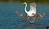 January 22, 2012 - Restricted landing space - the snowy egret and reddish egret fight for space !