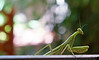 October 6, 2012 - A visit from a Praying Mantis