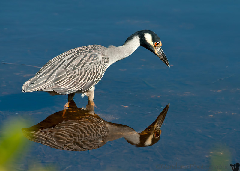 July 12, 2012 - Yellow-crowned night heron reflects on himself <br /> <br /> From Florida Dec 2011 archives. thank you all for your comments. I hope to get back into commenting soon !