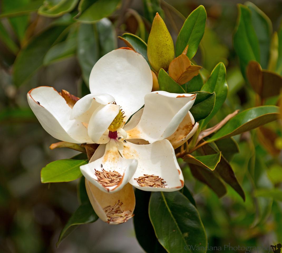 June 1, 2012 - Magnolias