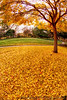 December 15, 2012 - leaves of gold -  photo from a few days back