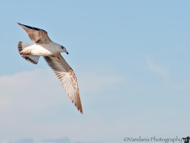 March 19, 2012 - a seagull in flight, taken at Ebenezer Park, near Rock Hill, SC