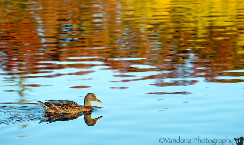 November 1, 2012 - Reflections of the mallard on a fall afternoon