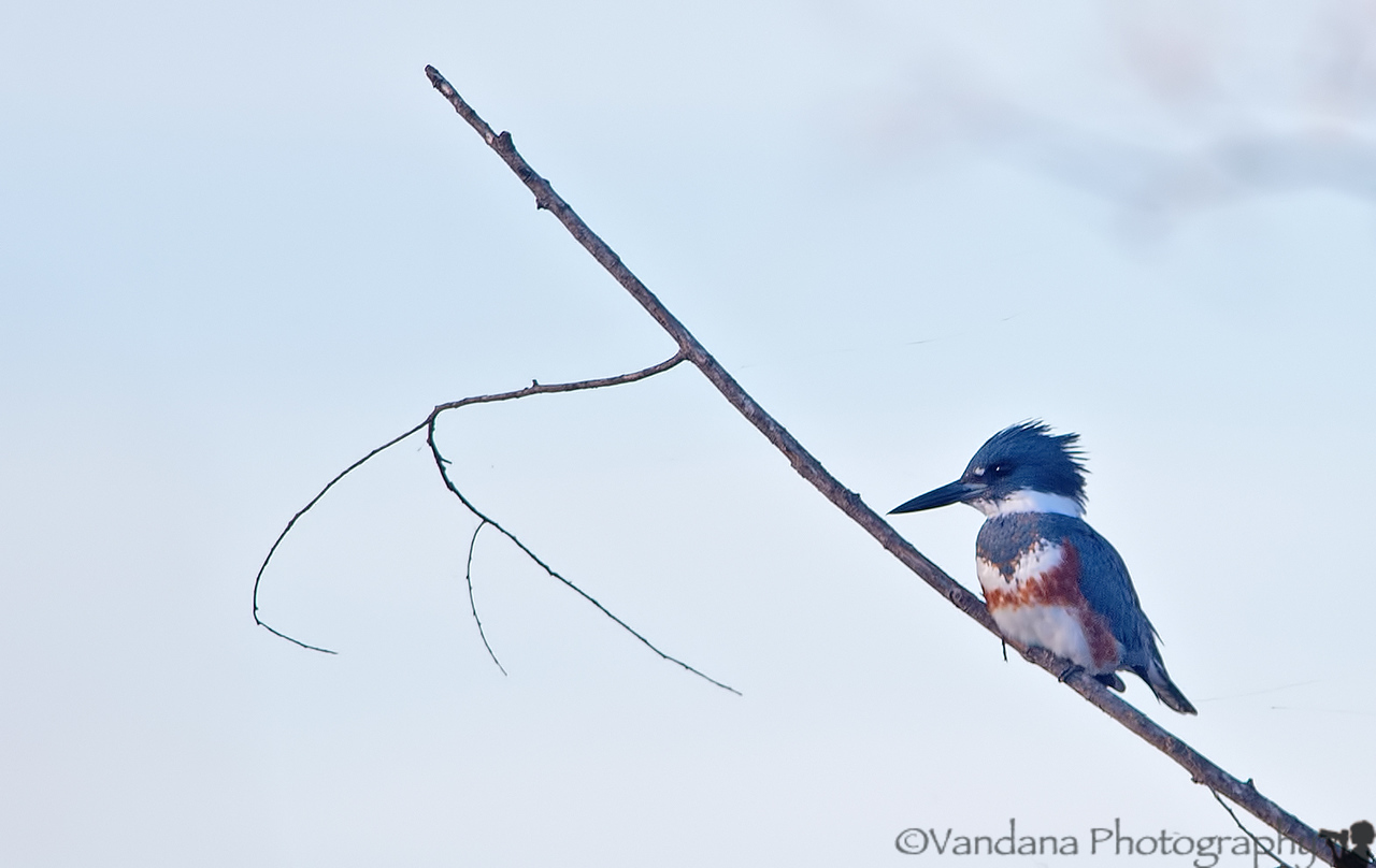 December 1, 2012 - a Kingfisher sits waiting for a catch