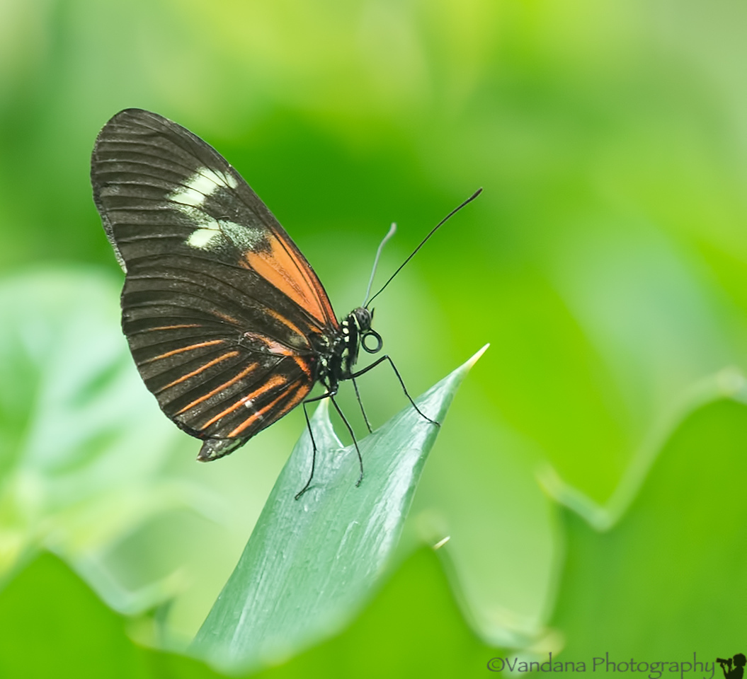 June 5, 2012 - just one more butterfly !<br /> <br /> thank you all for the wonderful comments on my Colorado shot from the past !
