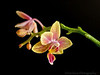April 6, 2012 - An orchid-a-day