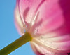 March 6, 2012 - Tulip abstract<br /> <br /> Get ready for Billie Jean's abstract day coming this friday !