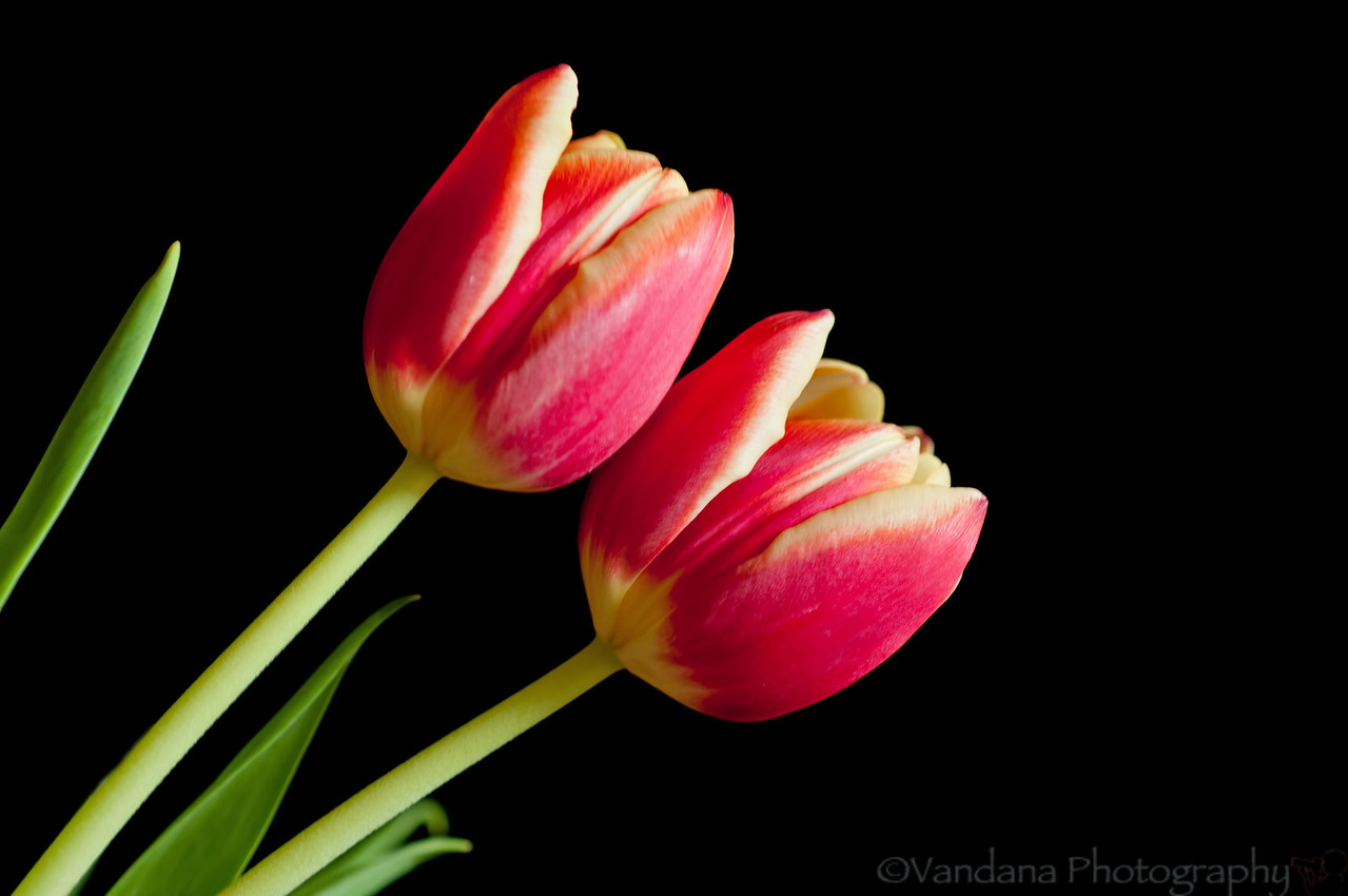 March 28, 2012 - two tulips