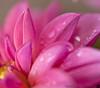 April 10, 2012 - Going pink - macro of a Dahlia