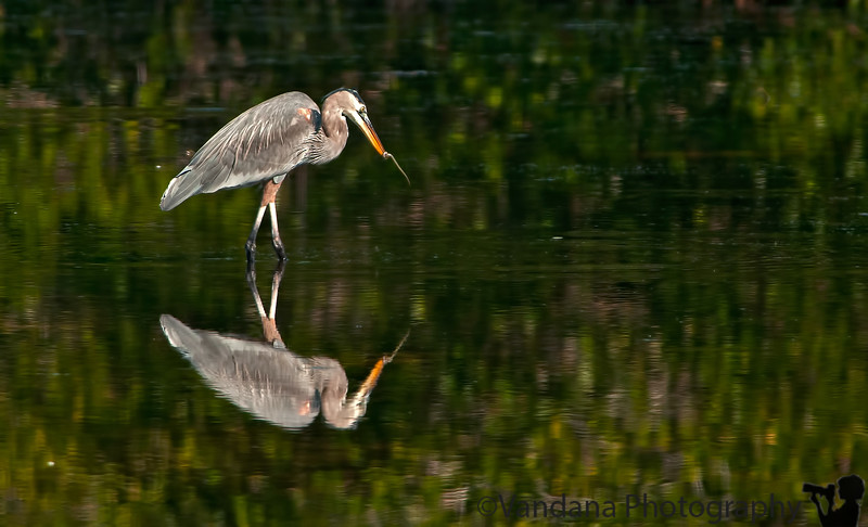 January 12, 2012 - Mirror, mirror .. a great blue heron stares at its reflections with a worm ? in mouth, taken at Ding Darling NWR, FL