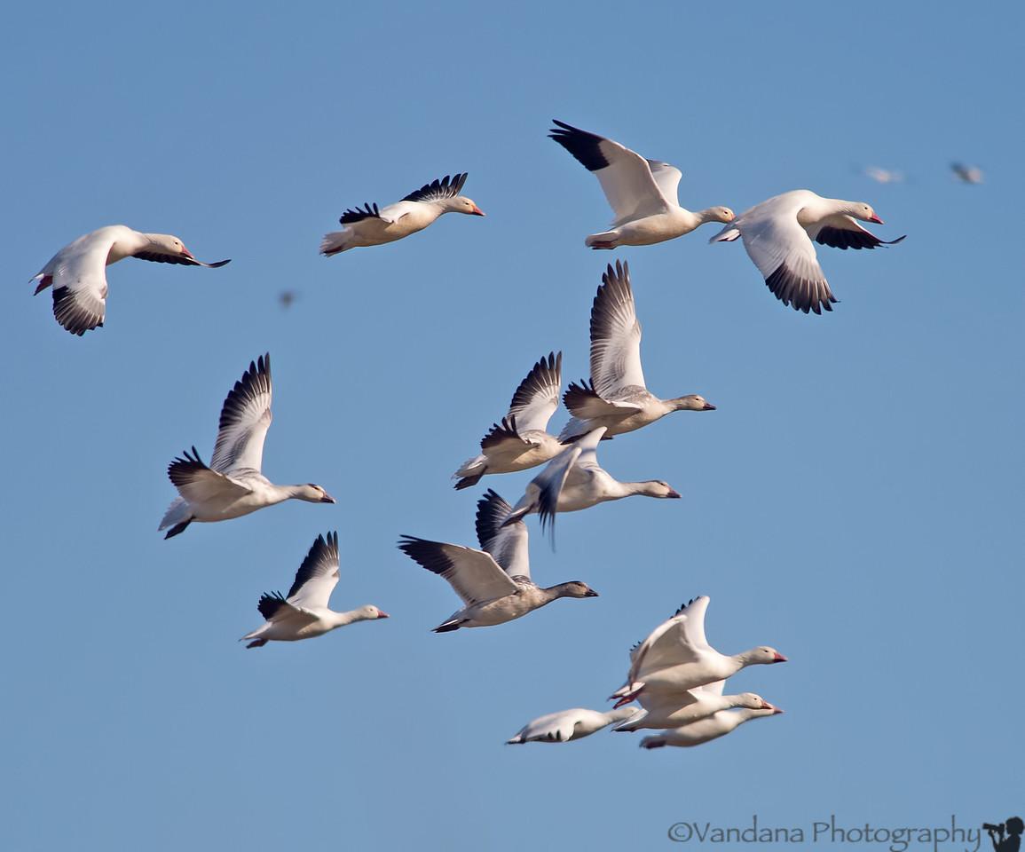 December 17, 2012 - Snow geese in flight <br /> <br /> taken over thanksgiving weekend at Sacramento National wildlife refuge