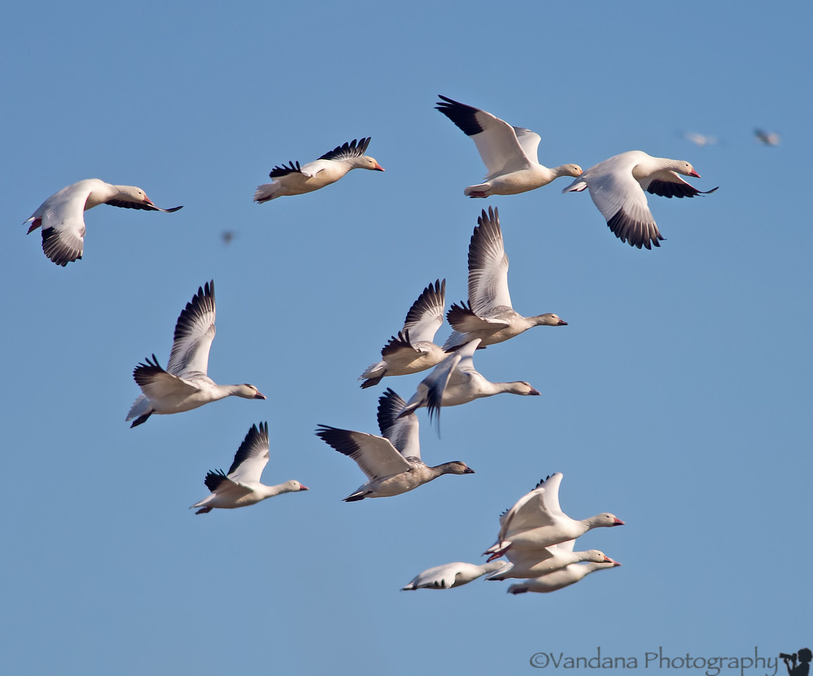 December 17, 2012 - Snow geese in flight <br /> <br /> taken over thanksgiving weekend at Sacramento National wildlife refuge